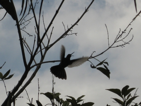 hummingbird taking flight in Museo Inti Nan, Ecuador